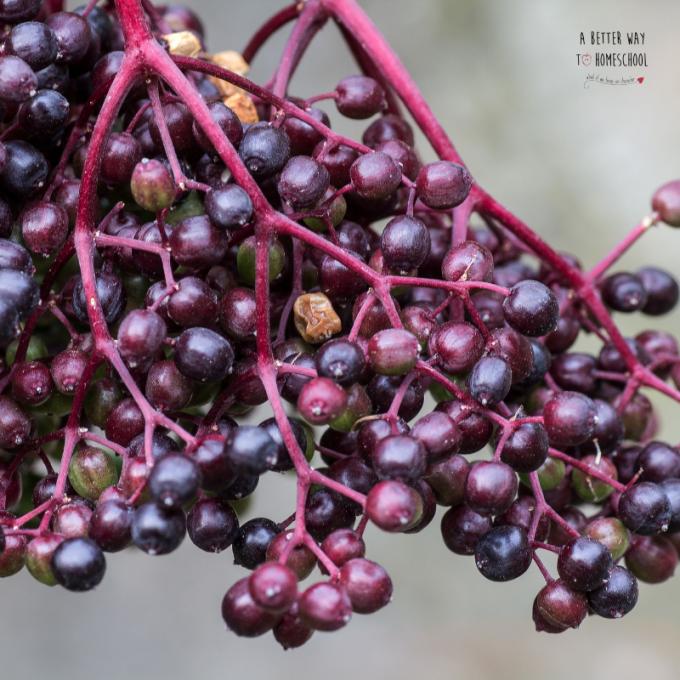 elderberry recipes